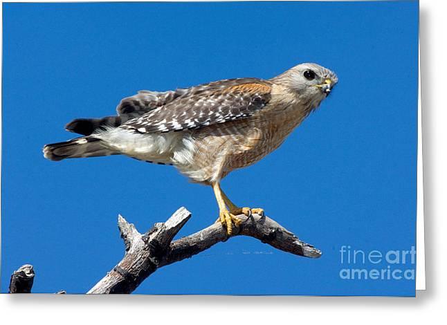 Red-shoulder Hawk Greeting Card by Anthony Mercieca