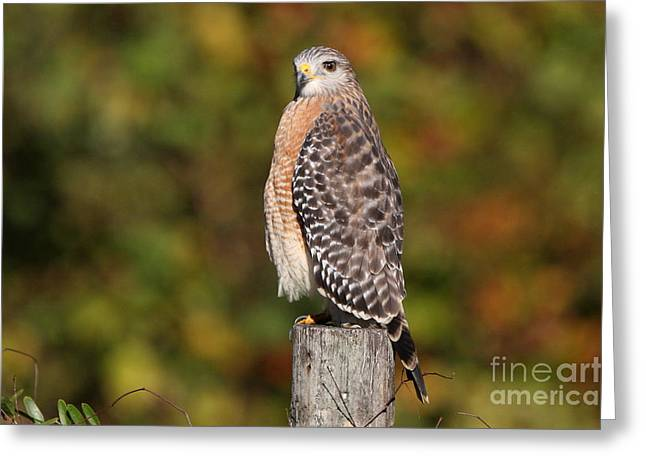 Greeting Card featuring the photograph Red-shoulder Hawk by Jennifer Zelik