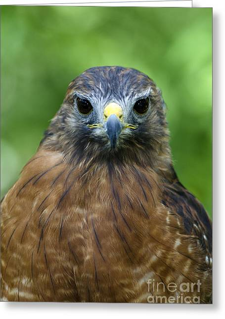 Red-shoulder Hawk Greeting Card by Mark Newman