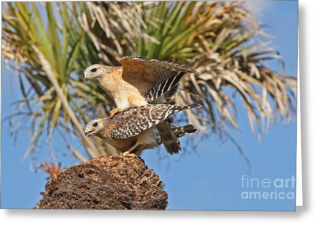 Greeting Card featuring the photograph Red-shoulder Hawks by Jennifer Zelik