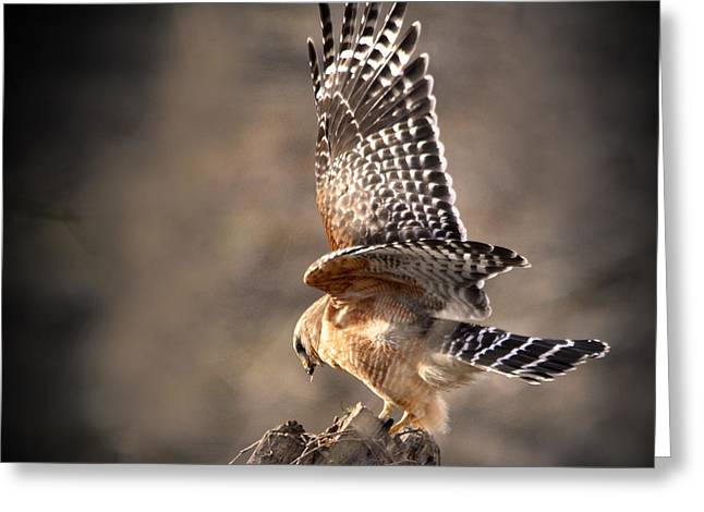 Red-shouldered Hawk Action Greeting Card by Nava Thompson