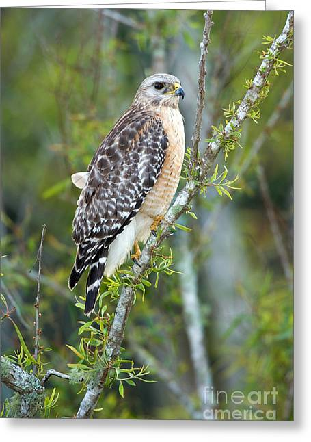 Red-shouldered Hawk Greeting Card by Anthony Mercieca
