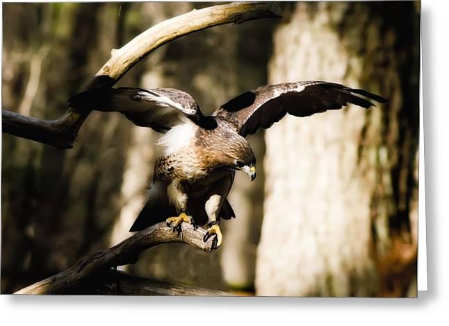 Red Shouldered Hawk Greeting Card by B Wayne Mullins