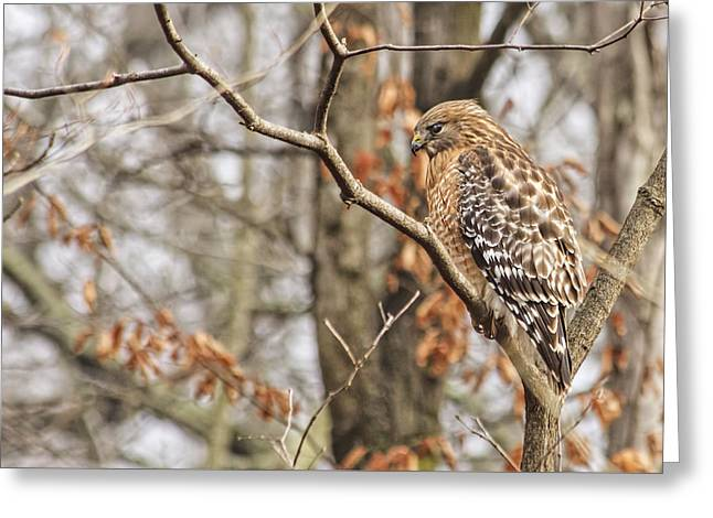 Red-shouldered Hawk By The C And O Canal Greeting Card by Francis Sullivan