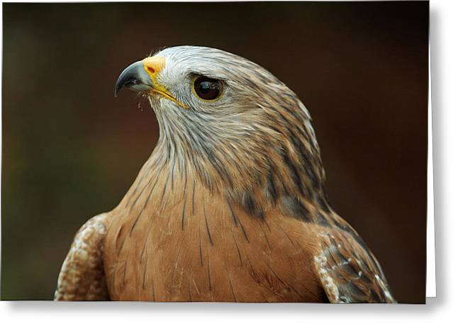 Greeting Card featuring the photograph Red-shouldered Hawk by Doug Herr
