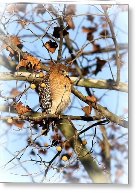 Red-shouldered Hawk - Img_7943 Greeting Card