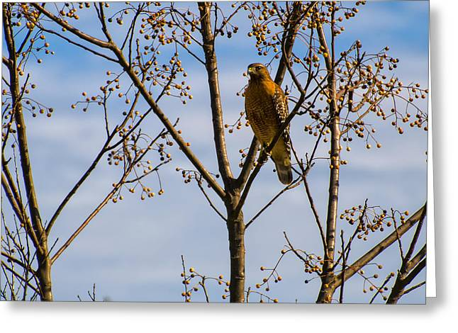 Red Shouldered Hawk In A Cherry Tree Greeting Card by Chris Flees