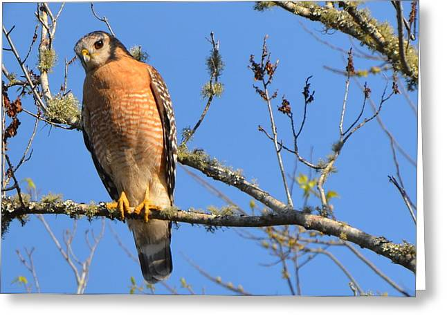 Red Shouldered Hawk Greeting Card by Jodi Terracina