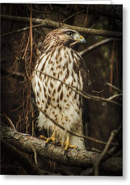 Red Shouldered Hawk Greeting Card by Karen Wiles