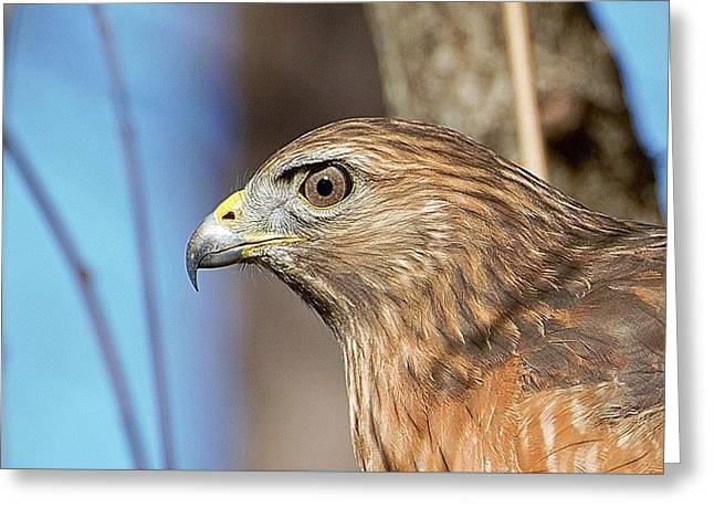 Red-shouldered Hawk Greeting Card by Ludwig Keck