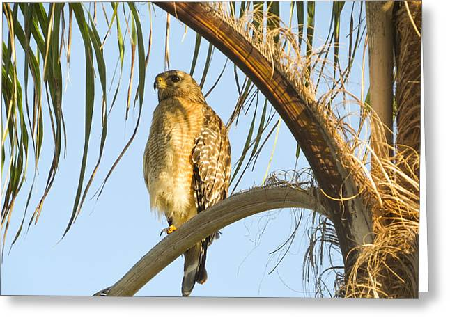 Red-shouldered Hawk On The Palm Tree Greeting Card by Zina Stromberg