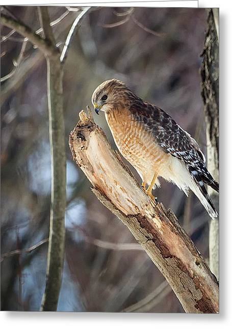 Red-shouldered Hawk Portrait Square Greeting Card by Bill Wakeley