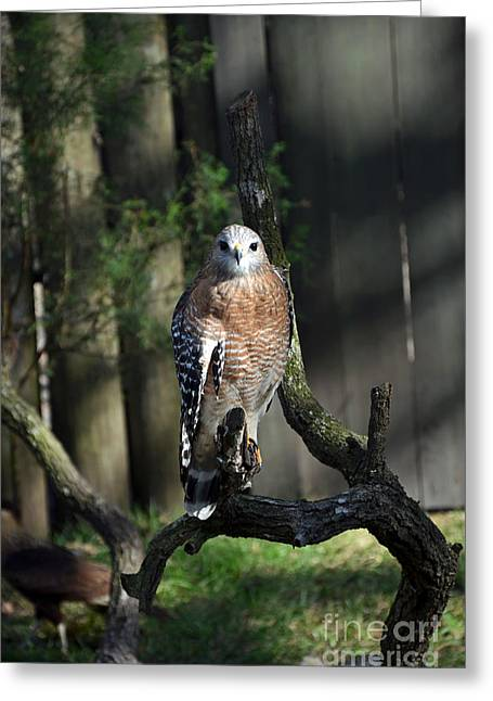 Red Shouldered-hawk Greeting Card