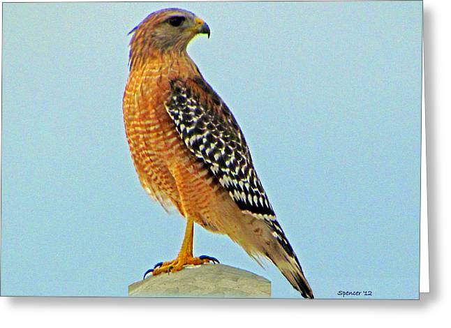Red-shouldered Hawk Greeting Card by T Guy Spencer