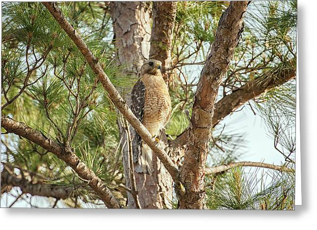 Greeting Card featuring the photograph Red-shouldered Hawk by Zoe Ferrie
