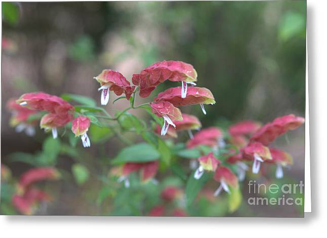 Red Shrimp Plant Greeting Card by Liane Wright