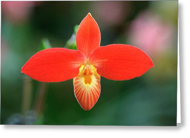 Red Slipper Orchid Greeting Card by Nigel Downer