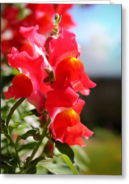 Red Snapdragons II Greeting Card by Aya Murrells
