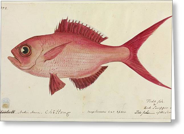Red Snapper Fish Greeting Card by Natural History Museum, London/science Photo Library