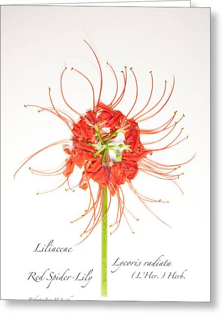 Red Spider-lily Greeting Card