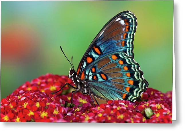 Red-spotted Purple Butterfly, Limenitis Greeting Card