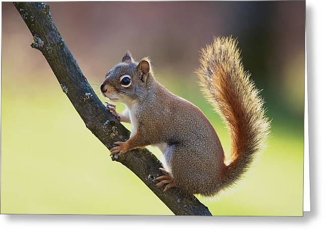 Red Squirrel - Ecureuil Roux Greeting Card by Nature and Wildlife Photography