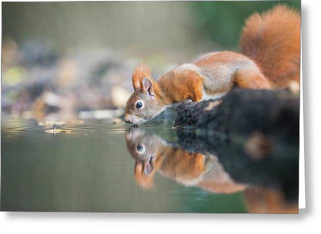 Red Squirrel Greeting Card by Erik Willaert