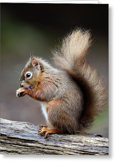 Red Squirrel Grooming Greeting Card