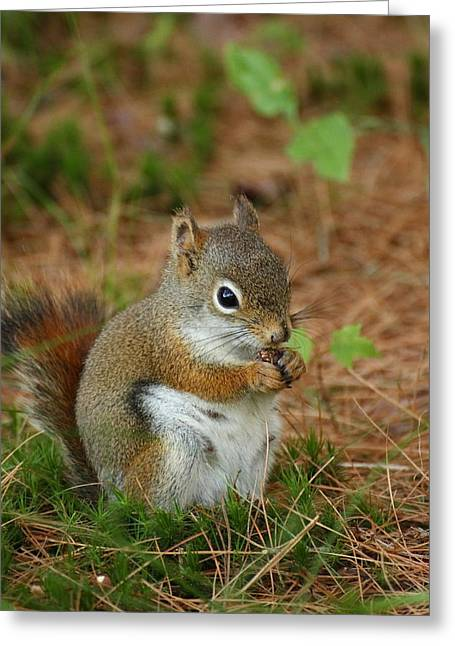 Red Squirrel In Acadia National Park Greeting Card by Acadia Photography