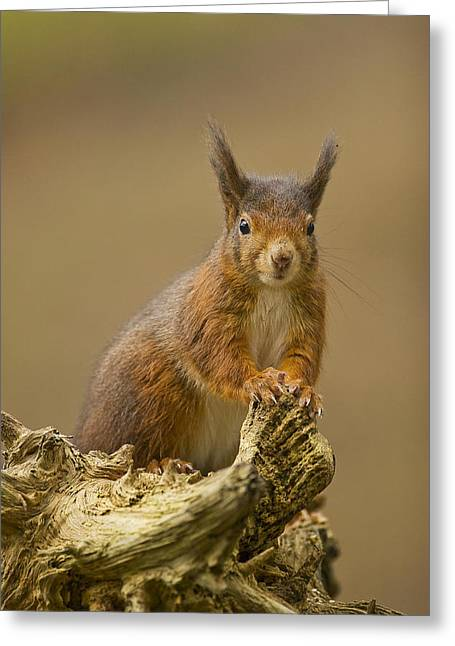 Greeting Card featuring the photograph Red Squirrel by Paul Scoullar