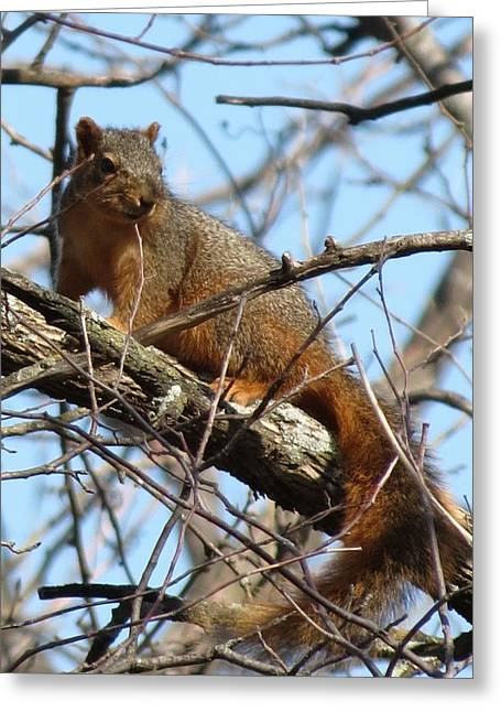 Red Squirrel  Greeting Card by Rebecca Overton