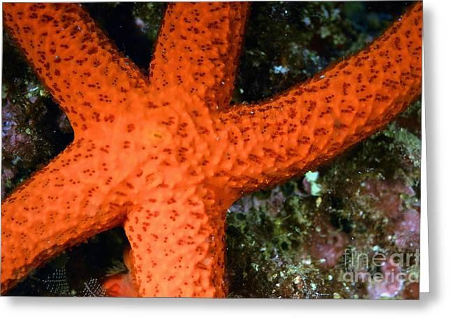 Red Starfish Echinaster Sepositus On A Rock Greeting Card by Sami Sarkis