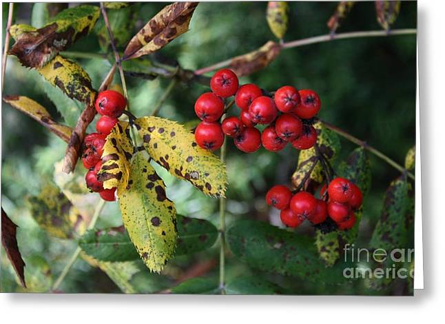 Red Summer Berries - Whistler Greeting Card