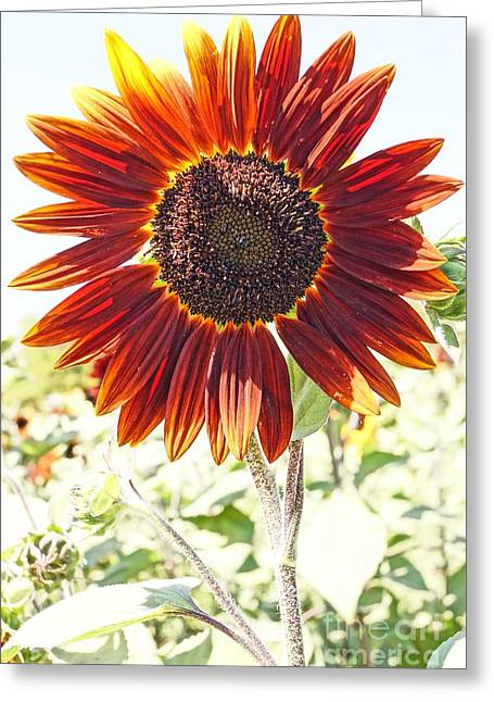 Red Sunflower Glow Greeting Card by Kerri Mortenson