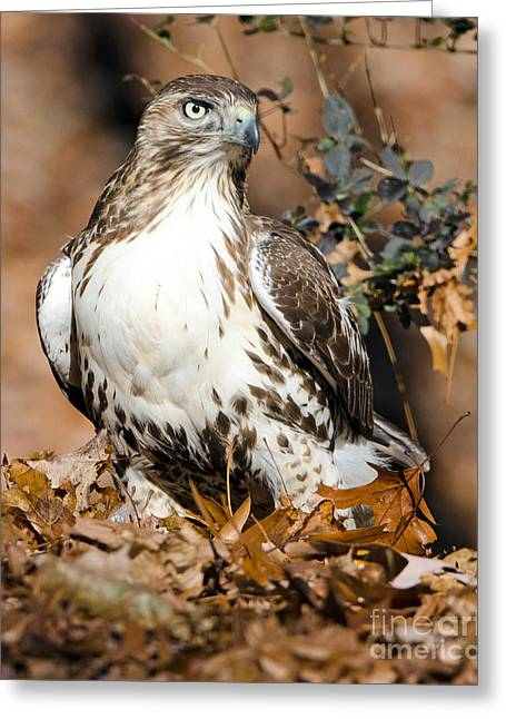 Red Tail Daze Greeting Card