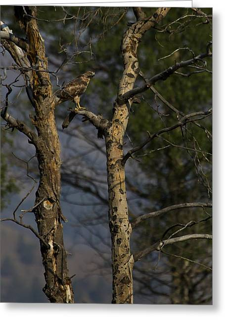Red-tail Hawk   #0596 Greeting Card by J L Woody Wooden