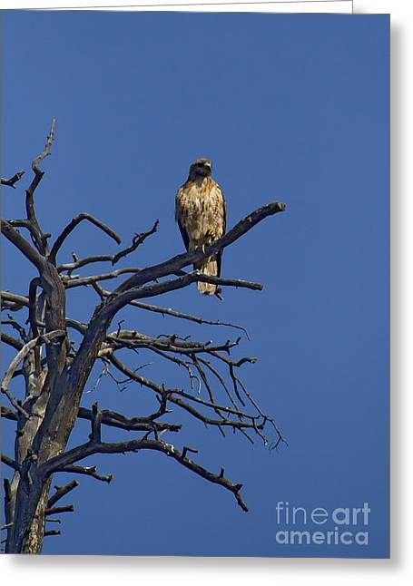 Red-tail Hawk   #0622 Greeting Card by J L Woody Wooden