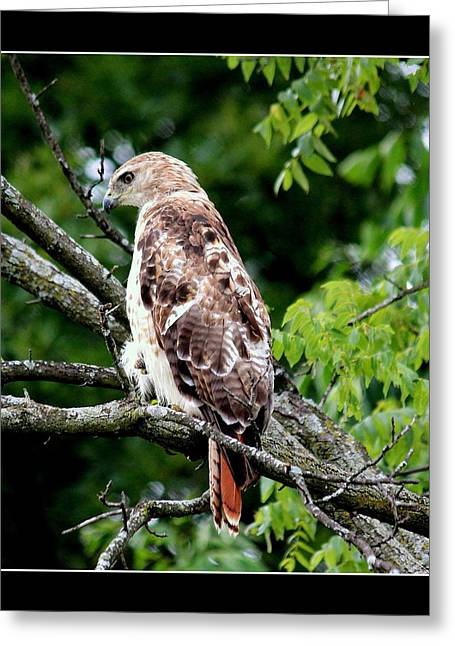 Red Tail Hawk 1 Greeting Card by Rosanne Jordan