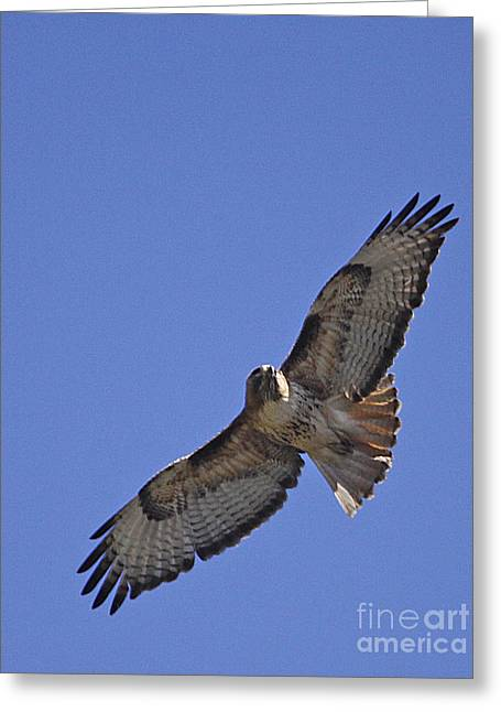 Red-tail Hawk  #1853 Greeting Card by J L Woody Wooden