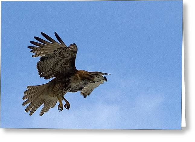 Red Tail Hawk Greeting Card by Bill Gallagher