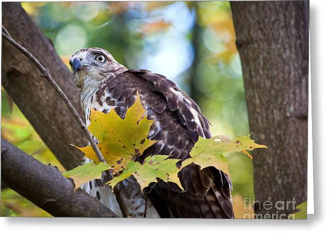 Greeting Card featuring the photograph Red Tail Hawk Closeup by Eleanor Abramson