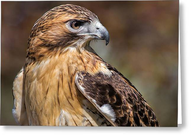 Red Tail Hawk Greeting Card by Dale Kincaid