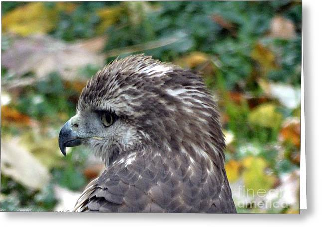 Red Tail Hawk Head Shot Greeting Card
