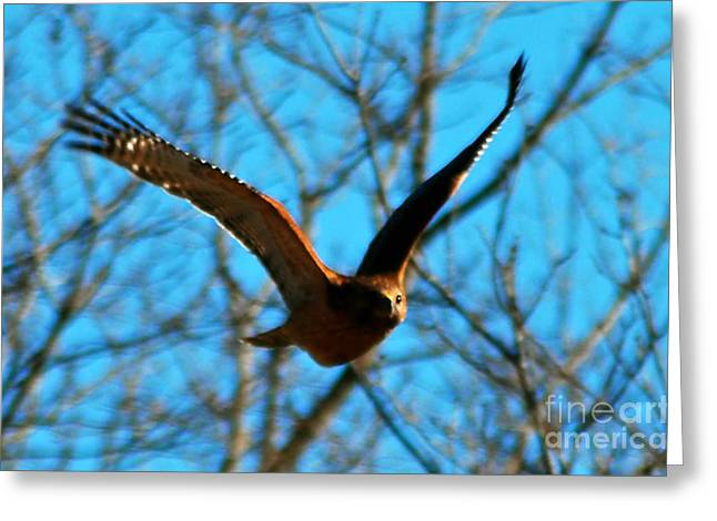 Greeting Card featuring the photograph Red Tail Hawk In Flight by Peggy Franz