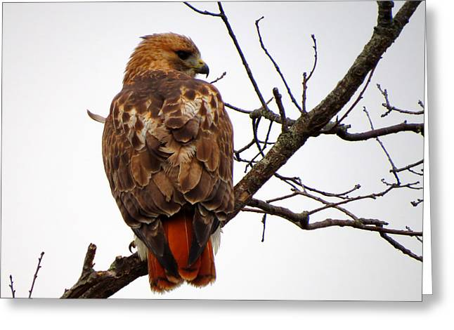 Red Tail Hawk In Winter Greeting Card by Dianne Cowen