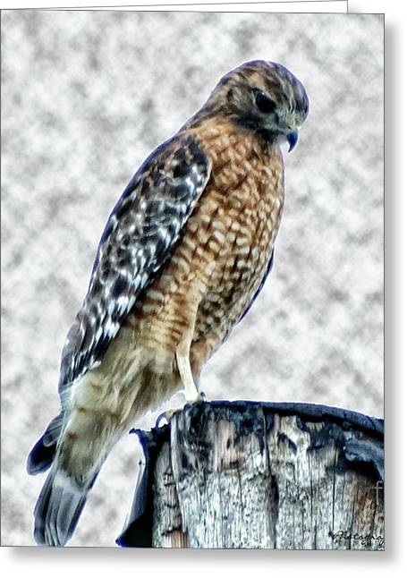 Red Tail Hawk Looking Down Greeting Card