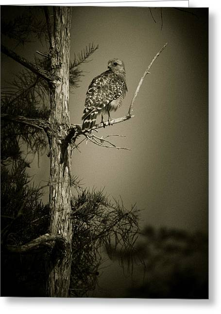Red Tail Hawk On Loop Road Greeting Card by Bradley R Youngberg