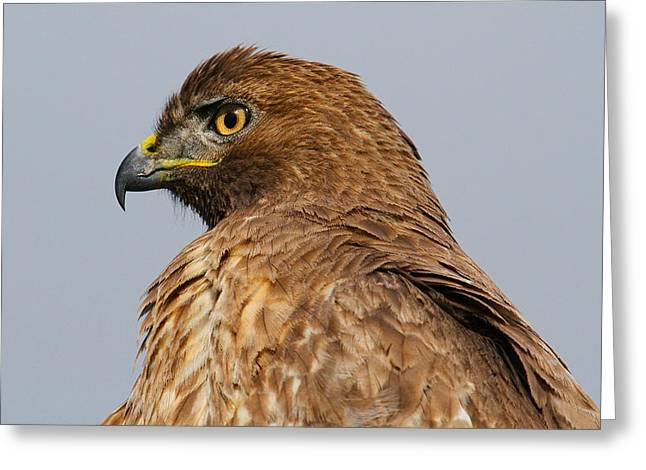 Red Tail Hawk Portrait Greeting Card by Paul Marto