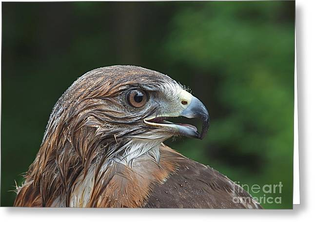 Red Tail Hawk Rain Greeting Card