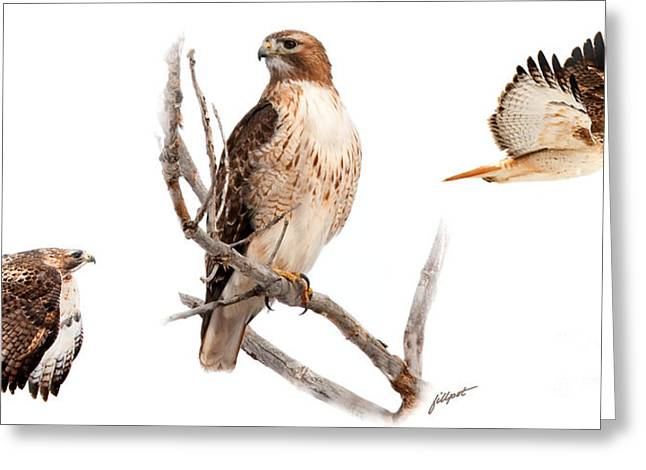 Red Tail Hawk Series Greeting Card